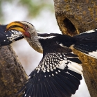 Yellow-Billed Hornbill_South Africa