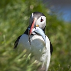 Puffins_northeast Iceland